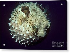 Porcupinefish Acrylic Print by Gregory G. Dimijian