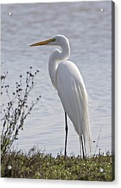 Portrail Of An Egret Acrylic Print