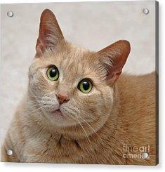 Portrait - Orange Tabby Cat Acrylic Print by Amy Cicconi