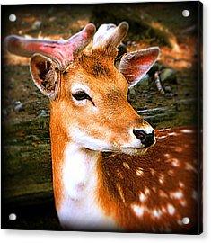 Portrait Male Fallow Deer Acrylic Print