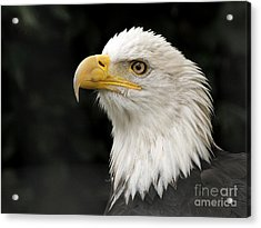 Acrylic Print featuring the photograph Portrait Of A Bald Eagle by Inge Riis McDonald