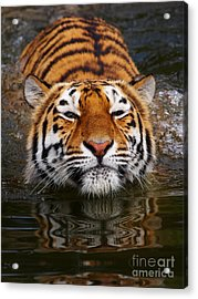 Portrait Of A Bathing Siberian Tiger Acrylic Print