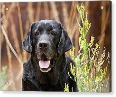 Portrait Of A Black Labrador Retriever Acrylic Print