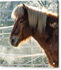 Portrait Of A Brown Horse Acrylic Print
