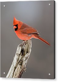 Acrylic Print featuring the photograph Portrait Of A Cardinal by Timothy McIntyre