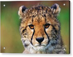 Acrylic Print featuring the photograph Portrait Of A Cheetah Cub by Nick  Biemans