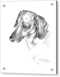 Portrait Of A Dachshund Paying Attention Acrylic Print