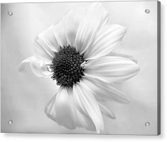 Acrylic Print featuring the photograph Portrait Of A Daisy by Louise Kumpf