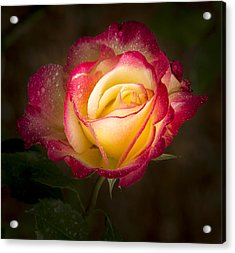 Portrait Of A Double Delight Rose Acrylic Print