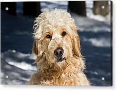 Portrait Of A Goldendoodle Sitting Acrylic Print by Zandria Muench Beraldo