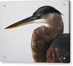 Portrait Of A Great Blue Heron - # 19 Acrylic Print by Paulette Thomas