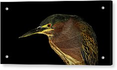 Portrait Of A Green Heron Acrylic Print