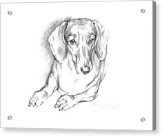 Portrait Of A Laying Dachshund Acrylic Print