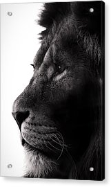 Portrait Of A Lion Acrylic Print by Martin Newman