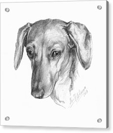 Portrait Of A Mini Dachshund  Acrylic Print
