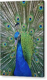 Acrylic Print featuring the photograph Portrait Of A Peacock by Diane Alexander