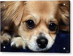 Portrait Of A Pup Acrylic Print by Lisa Knechtel