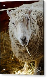 Portrait Of A Sheep Eating Hay Acrylic Print