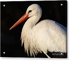 Portrait Of A Stork With A Dark Background Acrylic Print