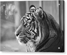 Acrylic Print featuring the photograph Portrait Of A Sumatran Tiger by Gary Neiss
