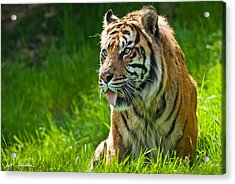 Acrylic Print featuring the photograph Portrait Of A Sumatran Tiger by Jeff Goulden