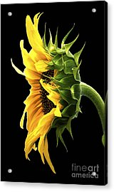 Portrait Of A Sunflower Acrylic Print