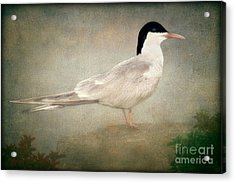 Portrait Of A Tern Acrylic Print by Tom York Images