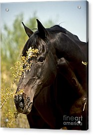 Portrait Of A Thoroughbred Acrylic Print