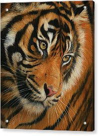 Portrait Of A Tiger Acrylic Print by David Stribbling