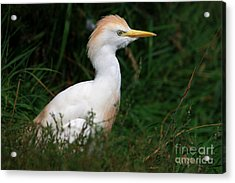Portrait Of A White Egret Acrylic Print