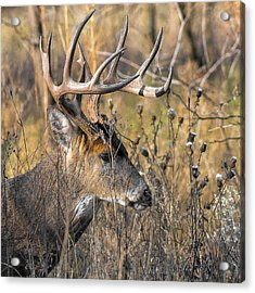 Portrait Of A Whitetail Acrylic Print