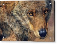 Portrait Of A Wolf Acrylic Print by David Stribbling