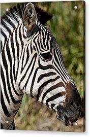 Portrait Of A Zebra Acrylic Print by Maria Urso
