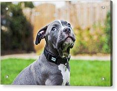 Portrait Of An American Bulldog Puppy Acrylic Print by Veravanoudheusden