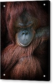 Portrait Of An Orangutan Acrylic Print by Zoe Ferrie