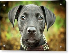 Portrait Of Black Lab Puppy Acrylic Print by Hillary Kladke