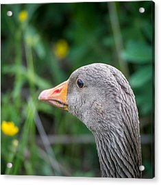 Portrait Of Greylag Goose, Iceland Acrylic Print