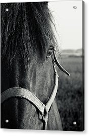 Portrait Of Horse In Black And White Acrylic Print by Peter v Quenter