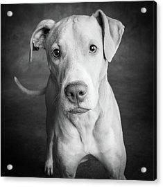Portrait Of Lab Hound Mix Dog Acrylic Print
