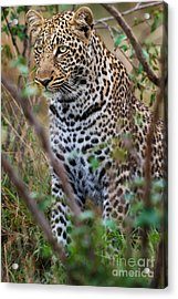 Portrait Of Leopard Male Paja In Masai Mara Acrylic Print by Maggy Meyer