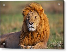 Portrait Of Lion Romeo II In Masai Mara Acrylic Print by Maggy Meyer