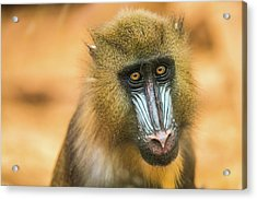 Portrait Of Mandrillus Sphinx Primate Acrylic Print by James Farley
