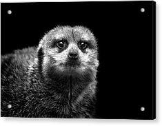 Portrait Of Meerkat Acrylic Print