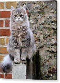 Portrait Of Siberian Cat Sitting Acrylic Print by Jean Michel Segaud / Eyeem