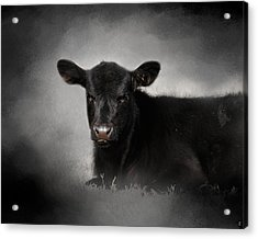 Portrait Of The Black Angus Calf Acrylic Print