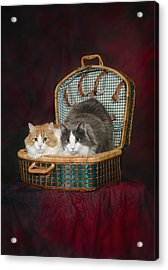 Portrait Of Two Cats In A Basketst Acrylic Print by Corey Hochachka