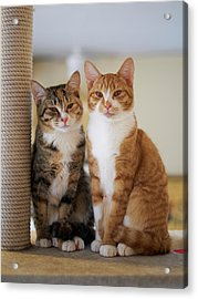 Portrait Of Two Young Cats Acrylic Print by Akimasa Harada