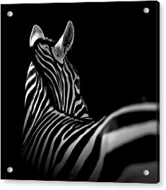 Portrait Of Zebra In Black And White II Acrylic Print by Lukas Holas