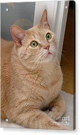 Portrait Orange Tabby Cat Acrylic Print by Amy Cicconi