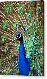 Portrait Peacock Acrylic Print